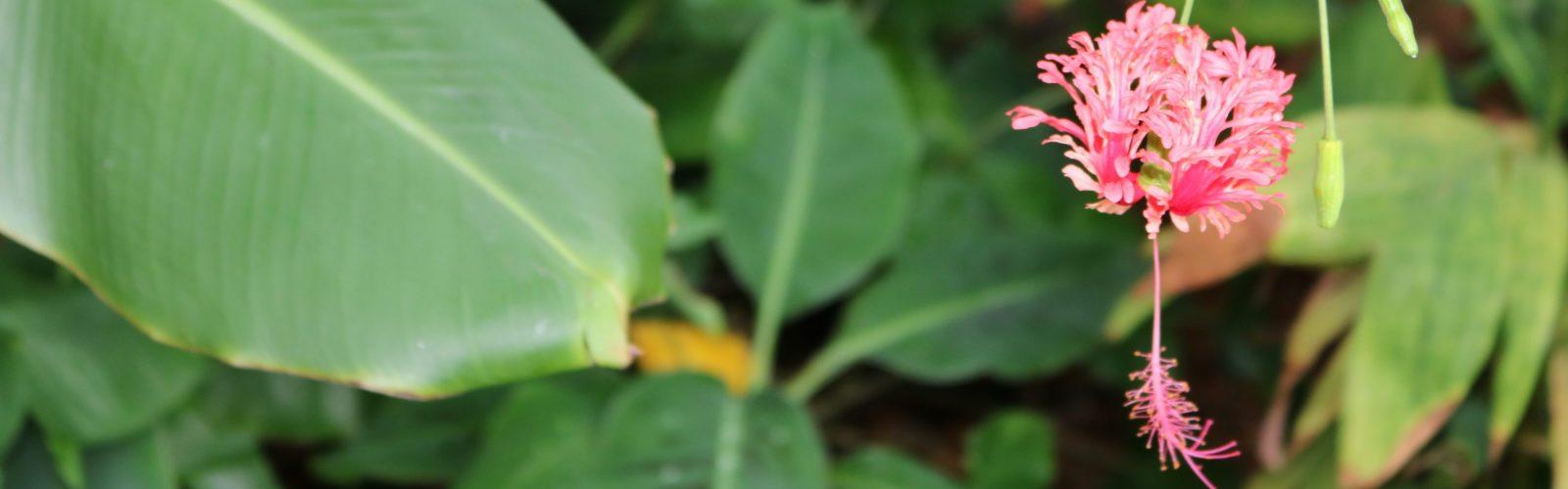 Fringed Rose-mallow (Hibiscus schizopetalus).