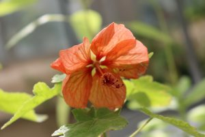 Orange Hawaiian Hibiscus